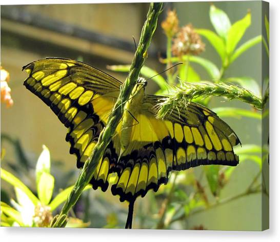 Giant Swallowtail Canvas Print