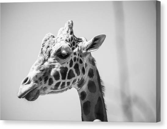 Large Mammals Canvas Print - Giraffe by Casey Merrill