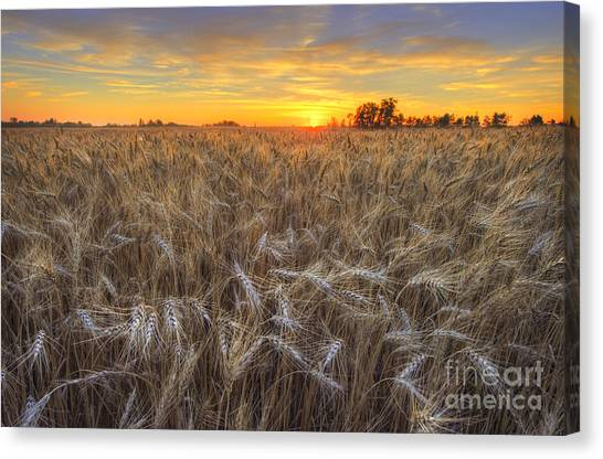 Golden Barley Canvas Print