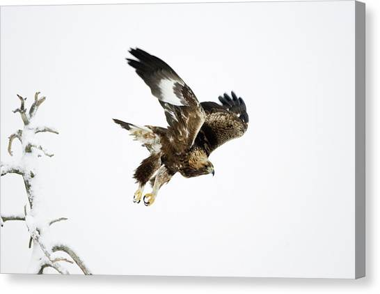 Eagle In Flight Canvas Print - Golden Eagle In Flight by John Devries/science Photo Library