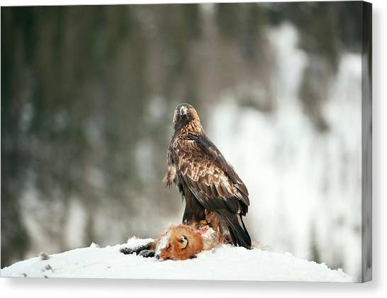 Golden Eagle Canvas Print - Golden Eagle With Its Prey by Dr P. Marazzi/science Photo Library