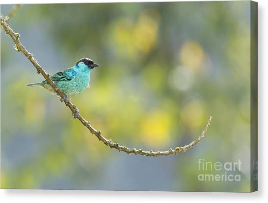 Golden-naped Tanager Canvas Print