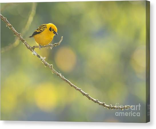 Golden Tanager Canvas Print