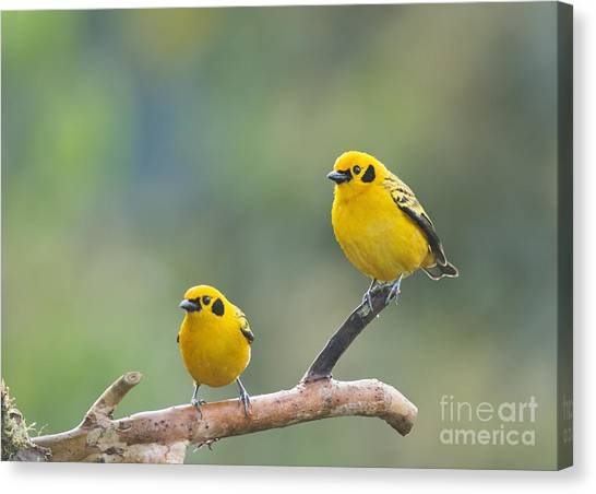 Golden Tanagers Canvas Print