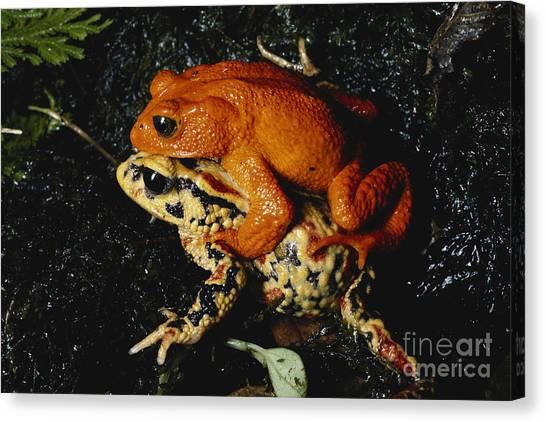 Monteverde Canvas Print - Golden Toads Mating by Gregory G. Dimijian, M.D.