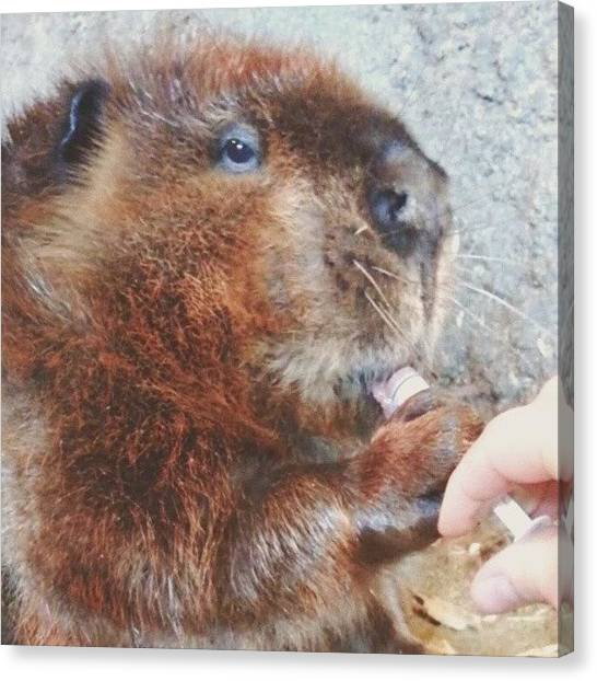 Beavers Canvas Print - Good Morning Drifter, Time For Your by Manon Duhaime