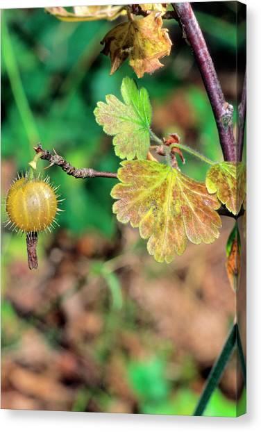 University Of Virginia Canvas Print - Gooseberry (ribes Uva-crispa) by Bruno Petriglia/science Photo Library