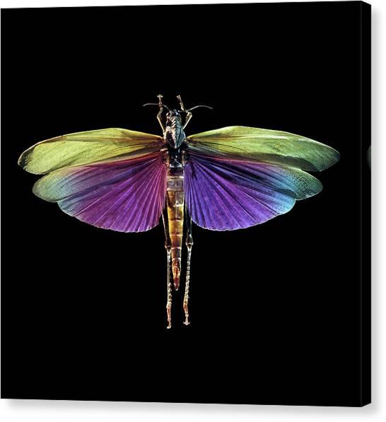Grasshoppers Canvas Print - Grasshopper by Patrick Landmann/science Photo Library