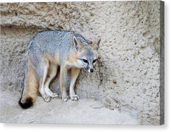 Sly Canvas Print - Gray Fox (urocyon Cinereoargenteus by Larry Ditto