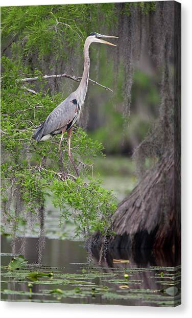 Great Cypress Canvas Print - Great Blue Heron (ardea Herodias by Larry Ditto