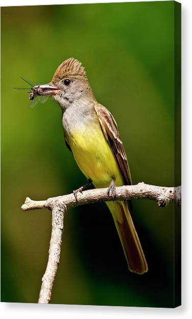 Flycatchers Canvas Print - Great Crested Flycatcher Myiarchus by David Northcott