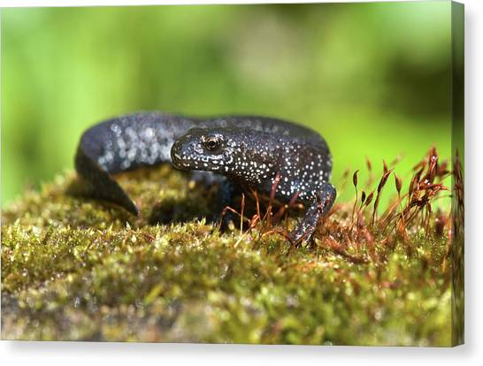 Newts Canvas Print - Great Crested Newt by John Devries/science Photo Library