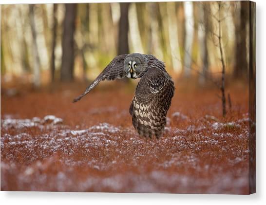 Birds Of Prey Canvas Print - Great Grey Owl by Milan Zygmunt