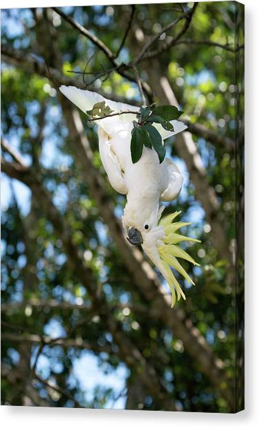 Cockatoo Canvas Print - Greater Sulphur-crested Cockatoo by Louise Murray