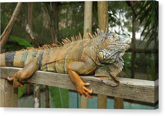 Belize Canvas Print - Green Iguana (iguana Iguana by William Sutton