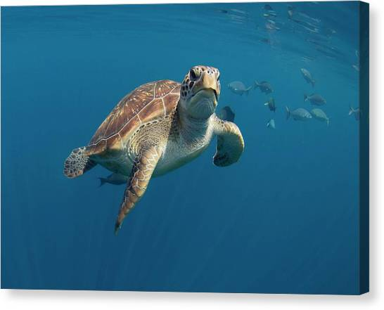 Canvas Print - Green Turtle Swimming by Peter Scoones/science Photo Library