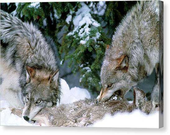 Grey Wolves With A Kill Canvas Print by William Ervin/science Photo Library
