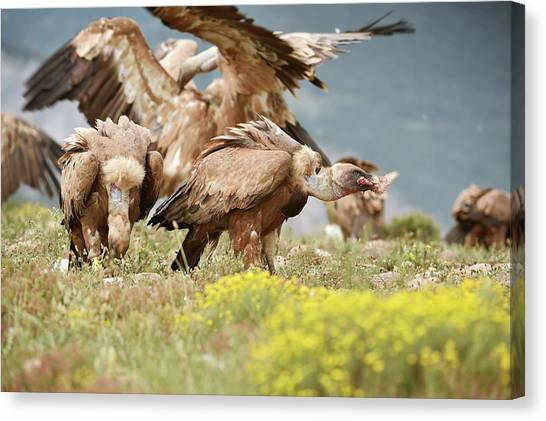 Griffons Canvas Print - Griffon Vultures Scavenging by Dr P. Marazzi