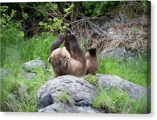 Grizzly Bear Canvas Print by Dr P. Marazzi/science Photo Library