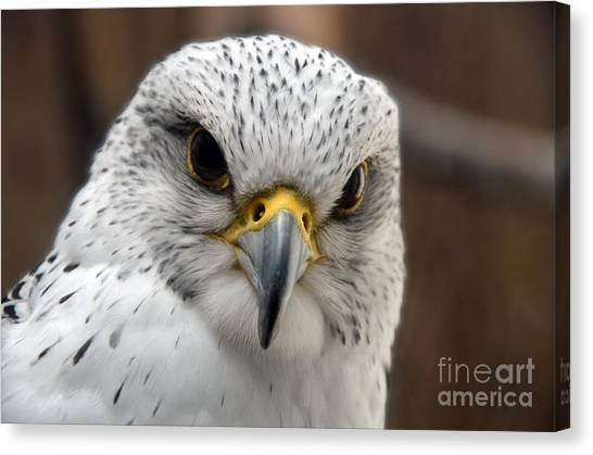 Gryfalcon Close Up Canvas Print