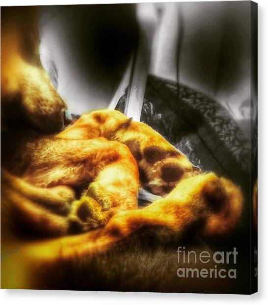 Gsd Canvas Print - #gsd #germanshepherd #germanshepherddog by Abbie Shores
