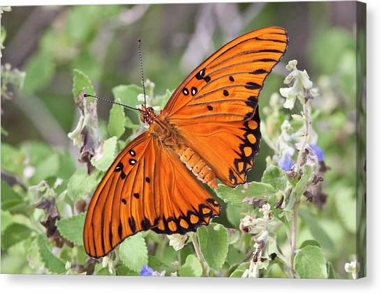 Gulf Fritillary (agraulis Vanillae Canvas Print by Larry Ditto