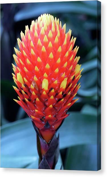 Bromeliad Canvas Print - Guzmania Conifera by Anthony Cooper/science Photo Library