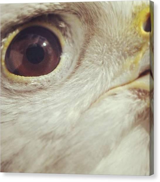 Falcons Canvas Print - Gyr Falcon Macro by Susan Scherr