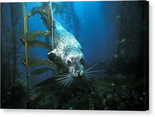 Kelp Forest Canvas Print - Harbor Seal by Greg Ochocki