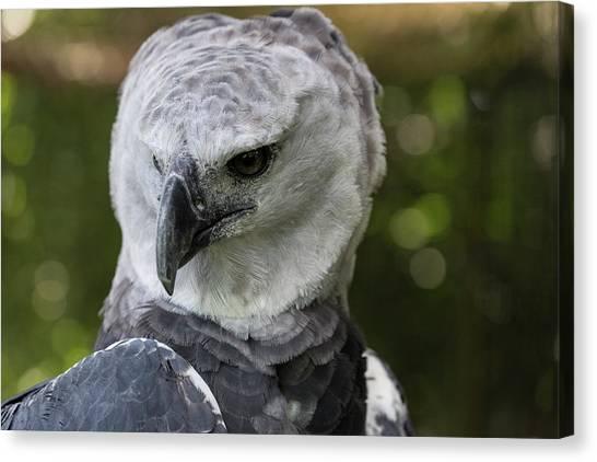 Harpy Eagle Canvas Print - Harpy Eagle, Harpia Harpyja by Jon G. Fuller