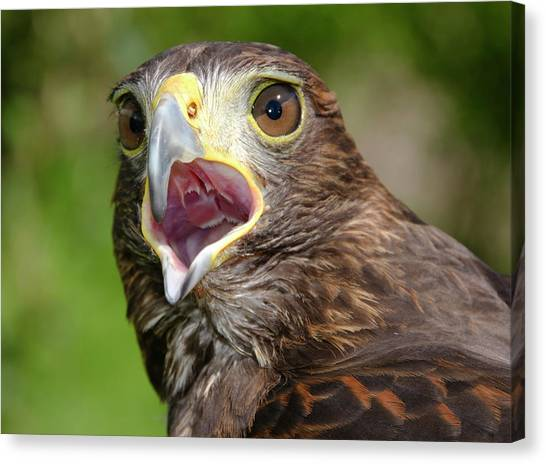 Accipitridae Canvas Print - Harris Hawk by Nigel Downer