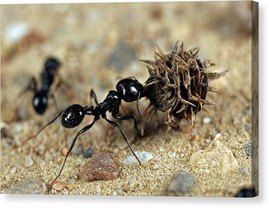 Animal Behaviour Canvas Print - Harvester Ant by Frank Fox