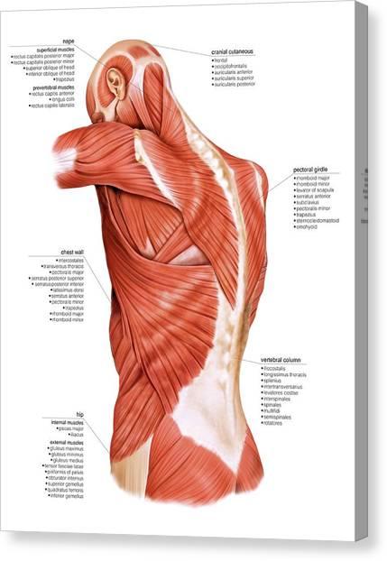 Pectoral Muscle Canvas Prints | Fine Art America