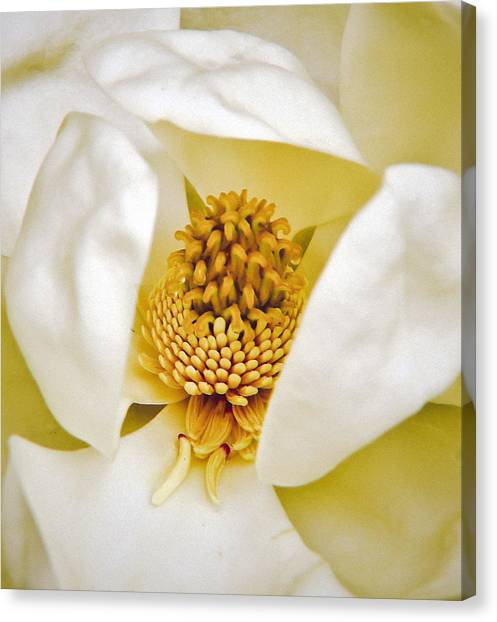 Heart Of Magnolia Canvas Print