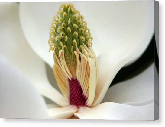 Heart Of The Magnolia Canvas Print
