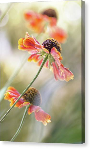 Helenium* Canvas Print by Mandy Disher