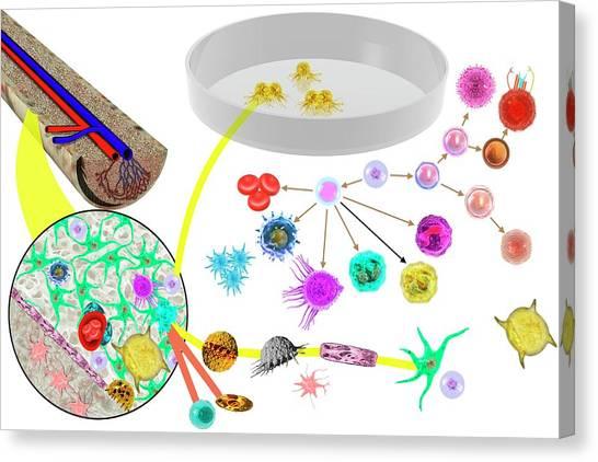 T-bone Canvas Print - Hematopoietic Stem Cells by Carol & Mike Werner