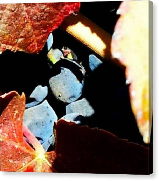 Grapes Canvas Print - Hidden by Katrise Fraund