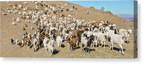 Contra Canvas Print - High Angle View Of A Herd Of Goats by Animal Images