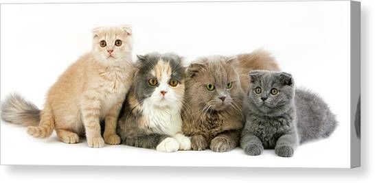 Scottish Folds Canvas Print - Highland Fold Lilac Self by Gerard Lacz