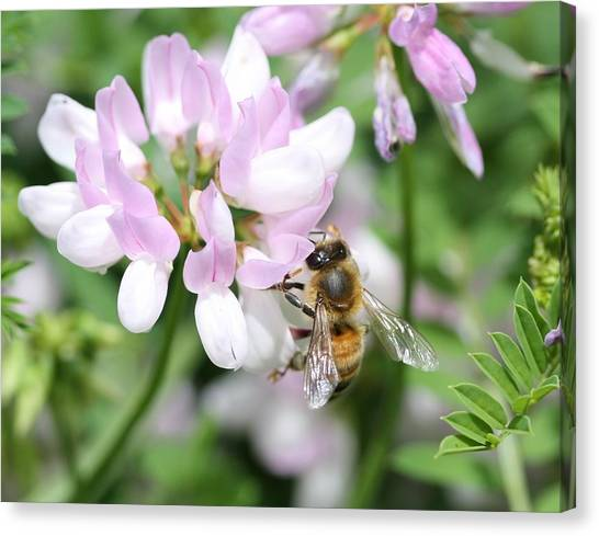 Honeybee On Crown Vetch Canvas Print