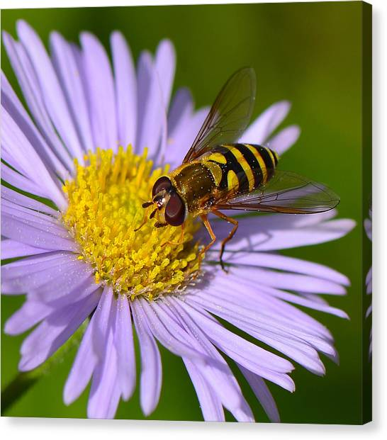 Yellowjacket On Robin's Plantain Canvas Print