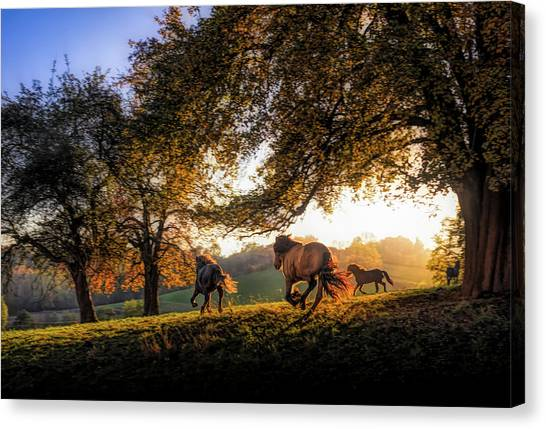 Baden Wuerttemberg Canvas Print - Horses Running At Sunset, Baden by Animal Images