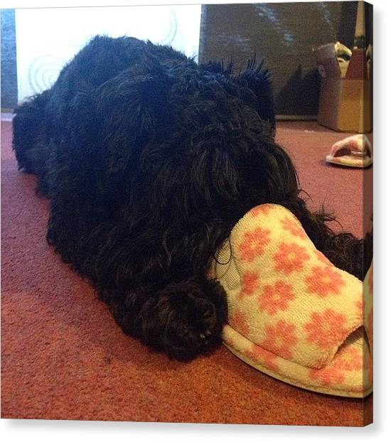 Schnauzers Canvas Print - How Ozzie Falls Asleep! Snout Stuffed by Laurena Pascoe