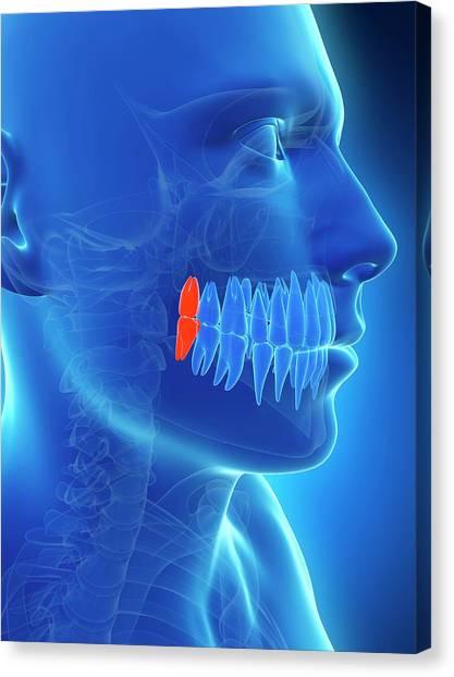 Human Wisdom Teeth Canvas Print by Sebastian Kaulitzki