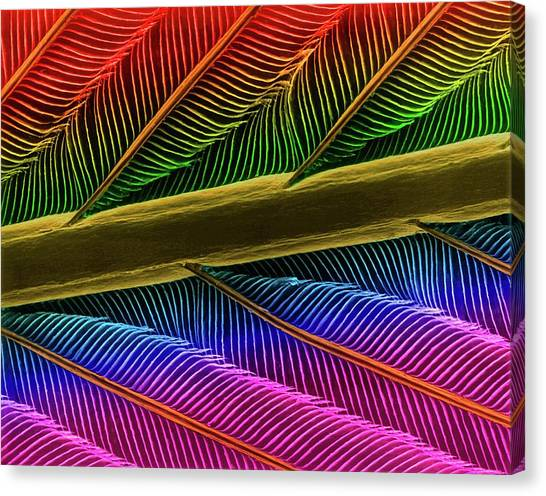 Hummingbird Feather Shaft Canvas Print by Dennis Kunkel Microscopy/science Photo Library