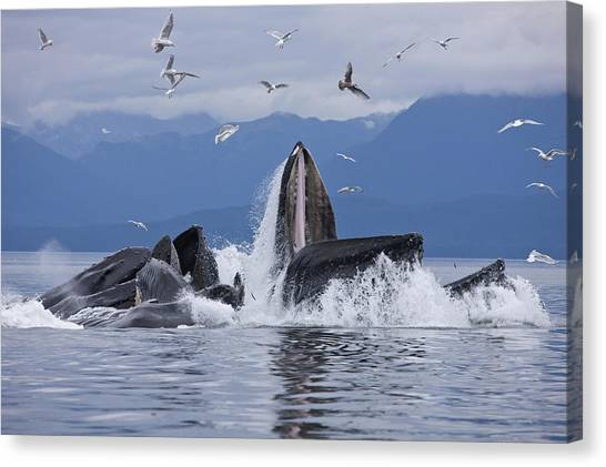 Tongass National Forest Canvas Print - Humpback Whales Bubble Net Feeding by John Hyde
