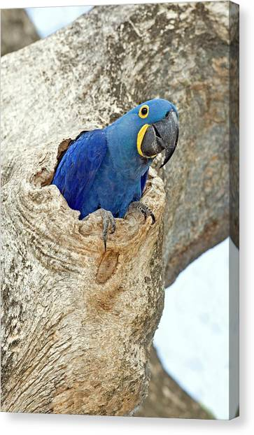 Macaw Canvas Print - Hyacinth Macaw by Tony Camacho/science Photo Library