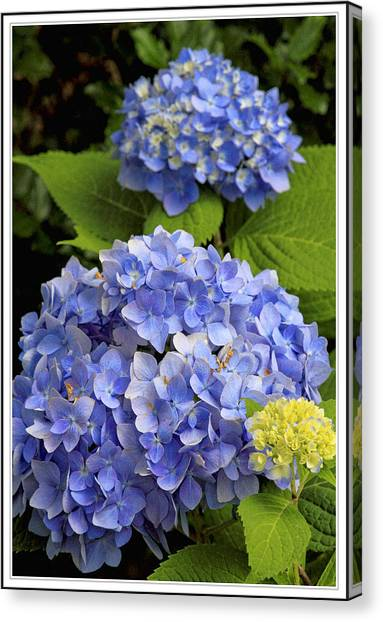 Sweet Tea Canvas Print - Hydrangeas by Geraldine Scull
