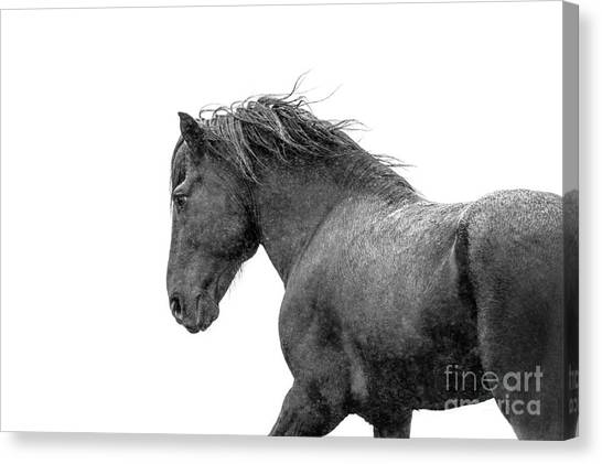Black Stallion Canvas Print - Icelandic Black Stallion by Heather Swan